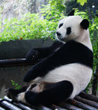 Giant Panda. Sat and leaned against the railing Royalty Free Stock Photography