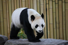 Giant panda. The giant panda is seeking food Stock Photo