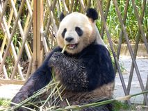 Giant panda at Shanghai wild animal park. A giant panda also called Ailuropoda melanoleuca is eating bamboo at Shanghai wild animal park China on a sunny day Stock Image