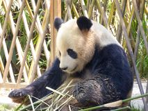 Giant panda at Shanghai wild animal park Stock Photography