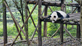 Giant panda in Sichuan, China royalty free stock photo