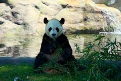Giant panda sitting and eating bamboo Stock Photo