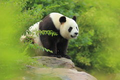 Giant panda. Sitting on the rock royalty free stock photography