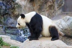 Giant panda sitting on the stone Stock Photo