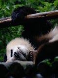 Giant Panda Sleep. A giant panda fell asleep grabing the handrail, and bared its teeth. Maybe it was dreaming Stock Photography