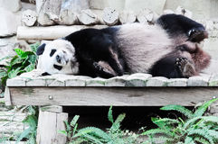 Giant panda sleeping Royalty Free Stock Images