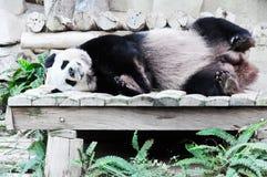 Giant panda sleeping Royalty Free Stock Images