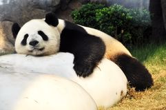 Giant Panda. Sleeping giant panda in ocean park Hong Kong royalty free stock image