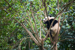 Giant panda sleeping in a tree Royalty Free Stock Photography
