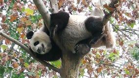 The giant panda is sleeping on the tree