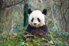 Giant panda smiling Stock Photography