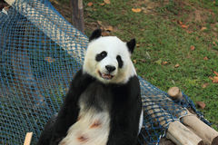 Giant panda smiling (9 years old). Mother giant panda is smiling at Chiang Mai zoo, Thailand (9 years old Royalty Free Stock Photo