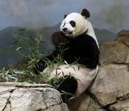 Giant Panda At The Smithsonian`s National Zoo Royalty Free Stock Image