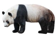 Giant Panda standing Royalty Free Stock Image