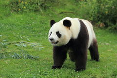 Giant panda. Standing in the grass and gazing Stock Photo