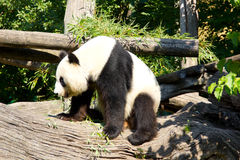Giant panda standing up after sleeping Stock Image