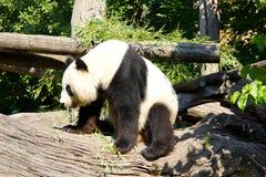 Giant panda standing up after sleeping Stock Image
