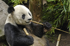 Giant Panda with Sticks. Image of a Giant Panda holding bamboo sticks.  Photo taken at the San Diego Zoo Stock Images