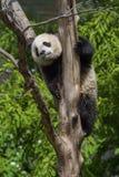 Giant Panda. Tai Shan at the National Zoo in Washington D.C Royalty Free Stock Photo