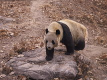 Giant Panda. A giant panda taken at Beijing Zoo in February 2015 Royalty Free Stock Images