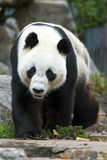 A Giant Panda takes a stroll in its enclosure at the Adelaide Zoo in South Australia in Australia. Royalty Free Stock Photos