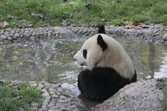 Giant panda taking a bath in a pool Stock Photos