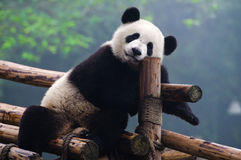 Giant panda taking a break Royalty Free Stock Photography