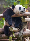 Giant panda taking a nap Stock Photography