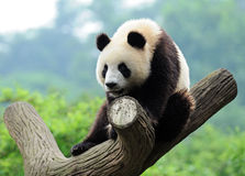 Giant panda in tree Royalty Free Stock Photo