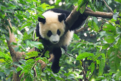 Giant panda in tree Stock Image