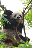 Giant Panda on Tree Royalty Free Stock Photos