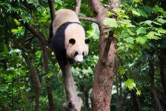Giant panda in a tree. Chengdu, China royalty free stock image