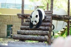 Giant Panda Walking Down the Steps Stock Image