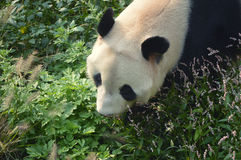 Giant panda. Walking through the grass and flowers Royalty Free Stock Photos