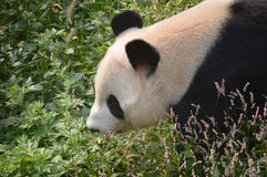 Giant panda. Walking through the grass and flowers Royalty Free Stock Image
