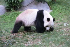 Giant Panda Walking at Ocean Park in Hong Kong Stock Photography
