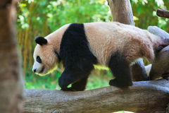 Giant panda walking on trunk Stock Photo