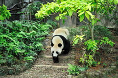 Giant panda. Walking up and down in zoo Stock Photo