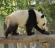 A Giant Panda Walks Across a Log Stock Image