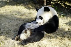 The lazy giant panda is Basking in the sunshine. Giant Panda `YUEYUE` and `BANBAN` is the panda `YOUYOU` in the October 4, 2016 in Shanghai base successfully Royalty Free Stock Photos