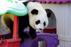 The lazy giant panda is climbing the toy house. Giant Panda `YUEYUE` and `BANBAN` is the panda `YOUYOU` in the October 4, 2016 in Shanghai base successfully gave Stock Images