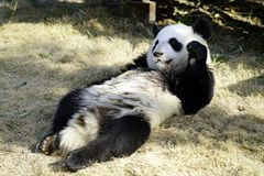 The lazy giant panda is eating the bamboo royalty free stock images
