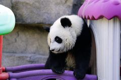 The lazy giant panda is climbing the toy house. Giant Panda `YUEYUE` and `BANBAN` is the panda `YOUYOU` in the October 4, 2016 in Shanghai base successfully gave Stock Photos