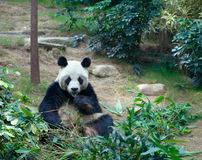 Giant panda in ZOO Stock Images
