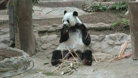 Giant panda, Chiang Mai. Thailand. Giant panda in the zoo of Chiang Mai. Thailand stock video footage