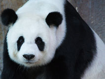 Giant panda. In The zoo  from Chiangmai Thailand Stock Photography