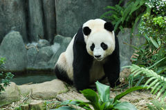 Giant Panda. In zoo enclosure stock images