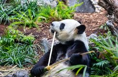 Giant Panda in zoo environment Royalty Free Stock Images