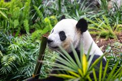Giant Panda in zoo environment Stock Photography