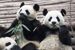 Giant Pandas. Young Giant Pandas eating bamboo, Chengdu, China royalty free stock photos